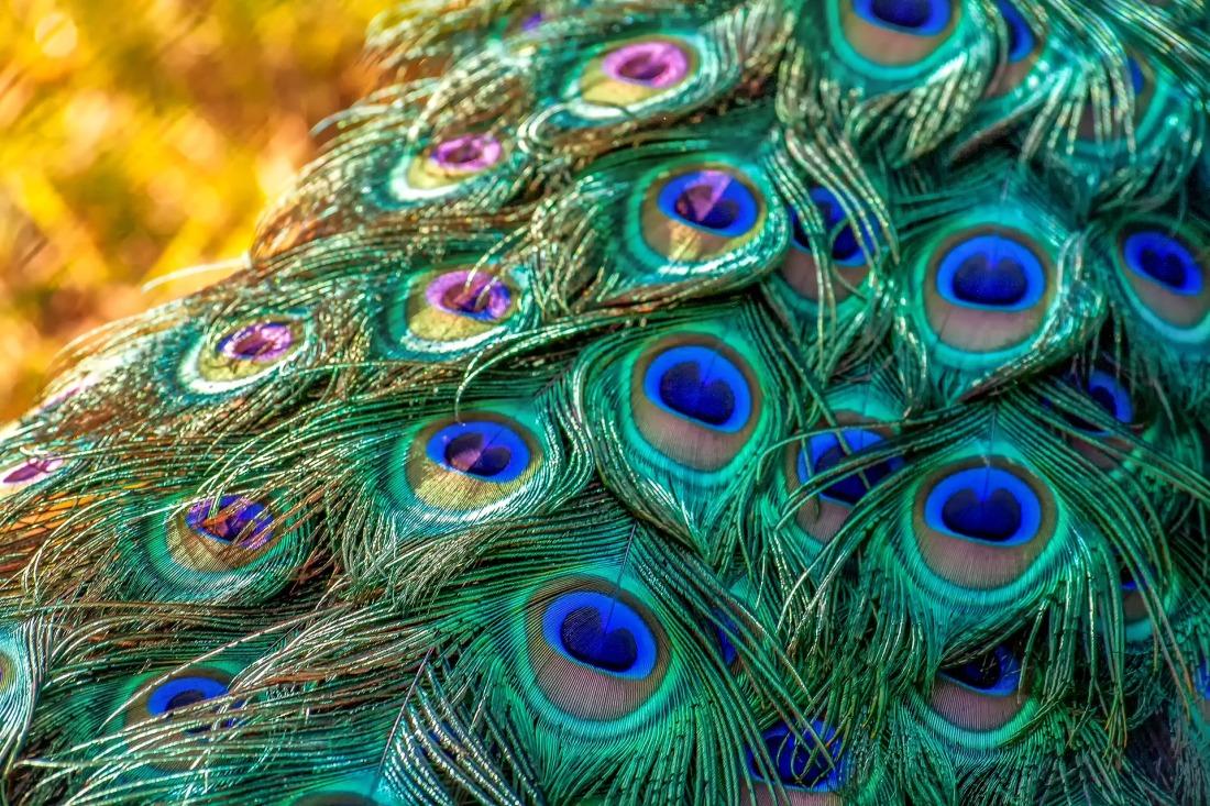peacock-3465442_1920.jpg